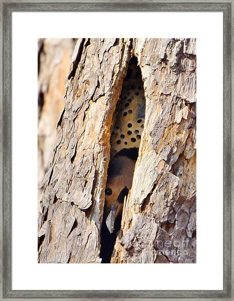 Northern Flicker Playing Peek-a-boo Framed Print by Kathy Baccari