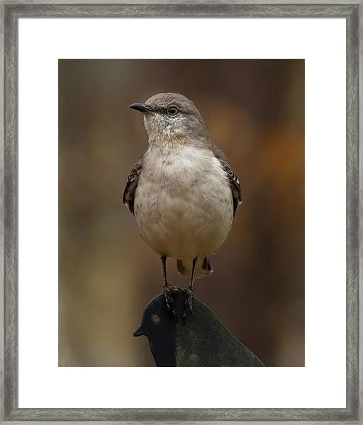 Northern Mockingbird Framed Print