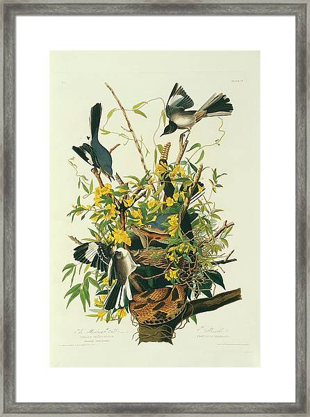 Northern Mockingbirds Framed Print by Natural History Museum, London/science Photo Library