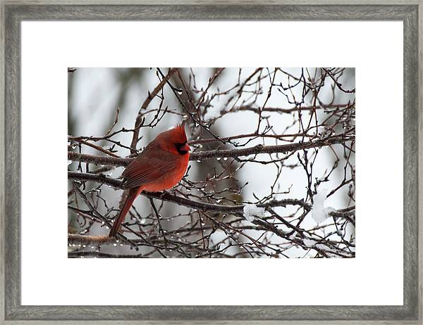 Northern Red Cardinal In Winter Framed Print