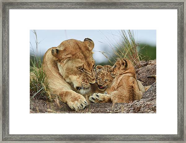 Nostalgia Lioness With Cubs Framed Print by Aziz Albagshi