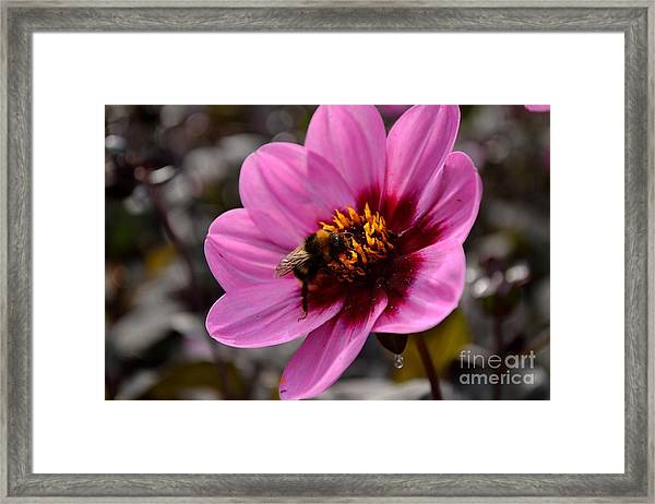Nosy Bumble Bee Framed Print