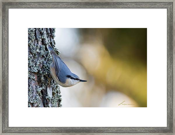 Nuthatch In The Classical Position Framed Print
