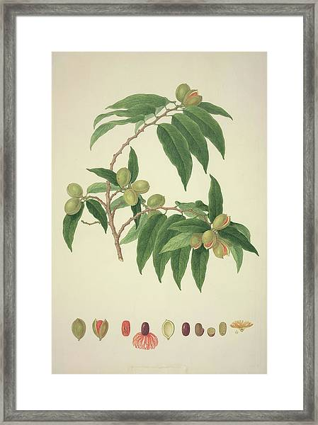 Nutmeg Plant Framed Print by Natural History Museum, London/science Photo Library