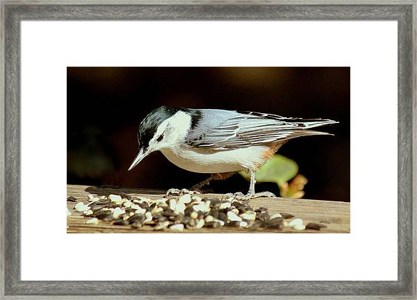 Nuts For The Nuthatch Framed Print by Rosanne Jordan