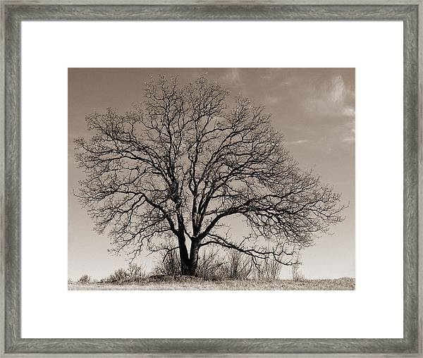 Oak In Sepia Framed Print