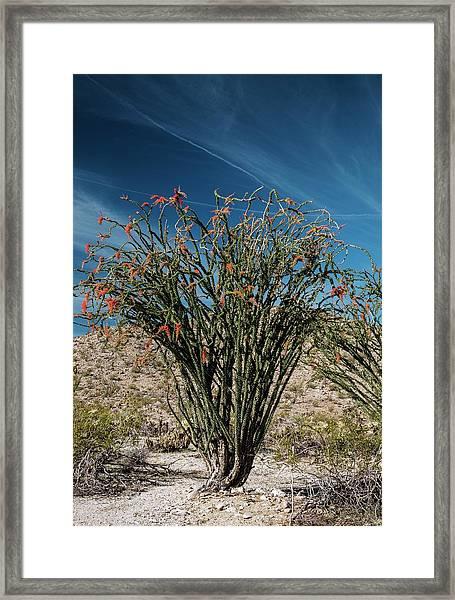Ocotillo (fouquieria Splendens) In Flower Framed Print
