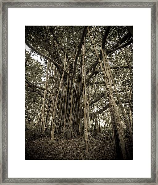 Old Banyan Tree Framed Print