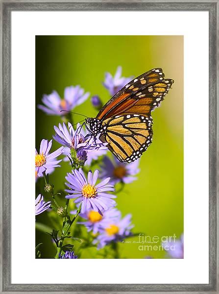 Old Butterfly On Aster Flower Framed Print
