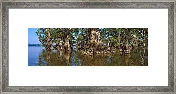 Old-growth Cypresses At Lake Fausse Framed Print