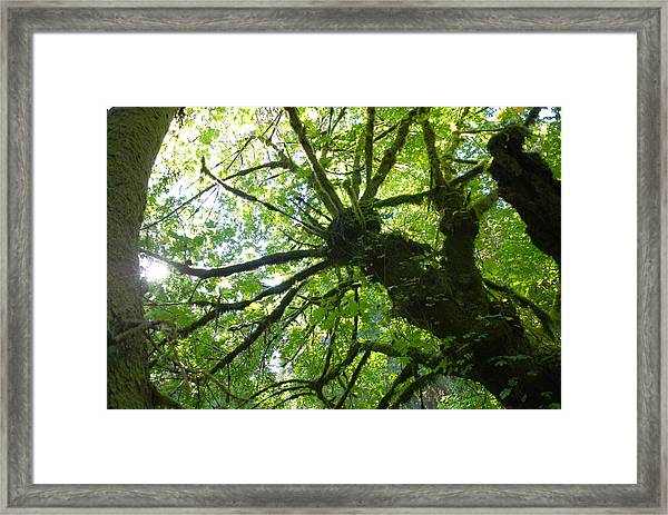Old Growth Tree In Forest Framed Print