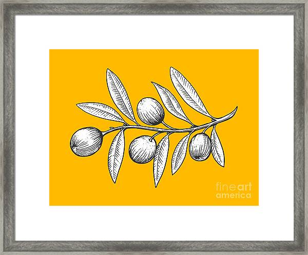 Olive Branch Engraving Style Vector Framed Print by Alexander p