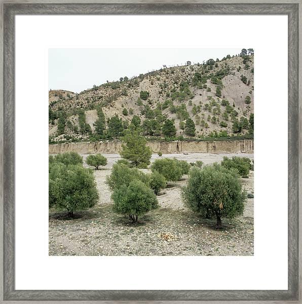 Olive Trees Framed Print by Mark De Fraeye/science Photo Library