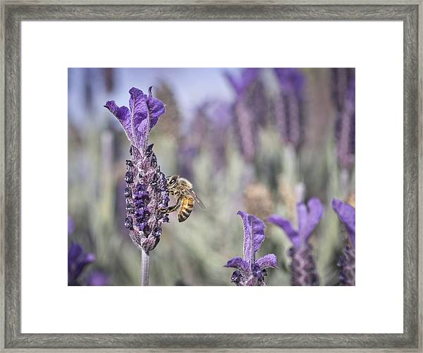 Framed Print featuring the photograph On The Lavender  by Priya Ghose