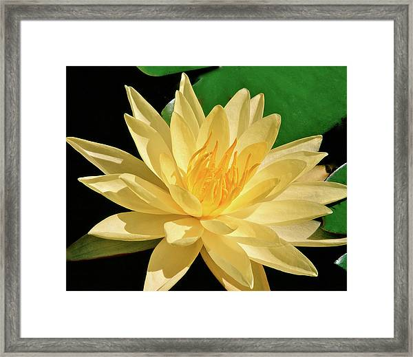 One Water Lily  Framed Print