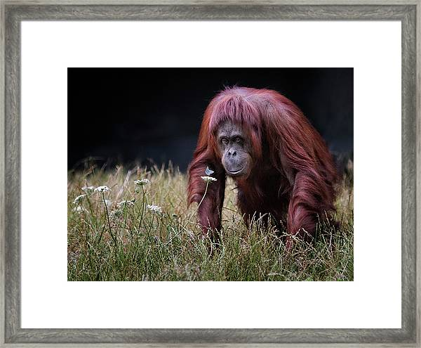 Orang-utan With Butterfly. Framed Print by Hugh Wilkinson