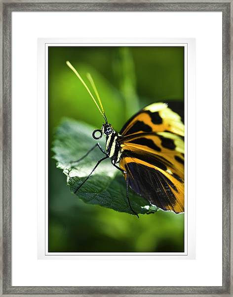 Orange And Black Butterfly Framed Print