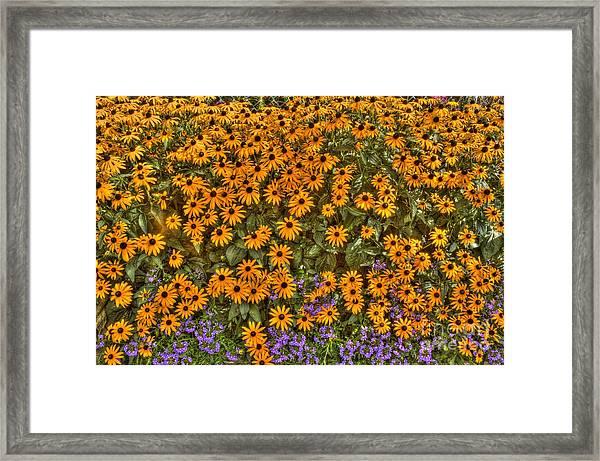 Orange And Purple Daises Framed Print