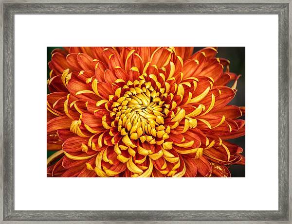 Orange And Yellow Mum Framed Print