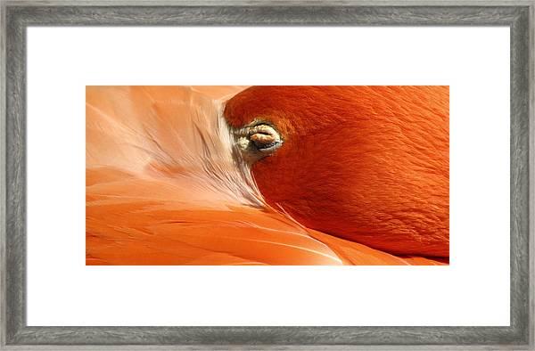 Flamingo Orange Eye Framed Print