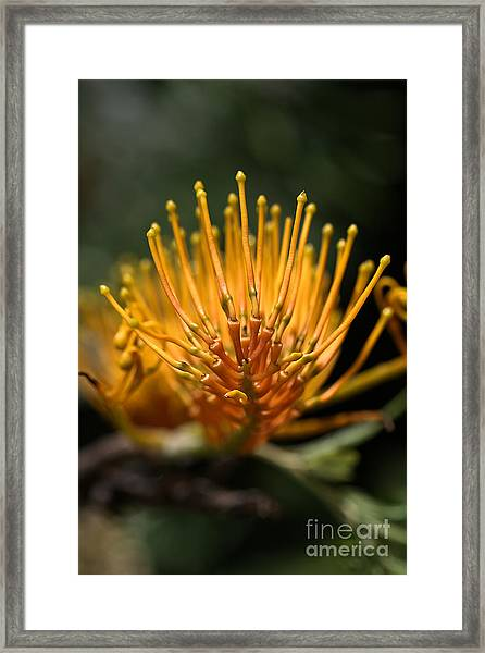 Orange Grevillea Framed Print