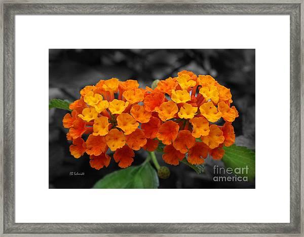 Orange Lantana Framed Print