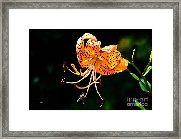 Orange Lily - Lilium Kelleyanum Framed Print