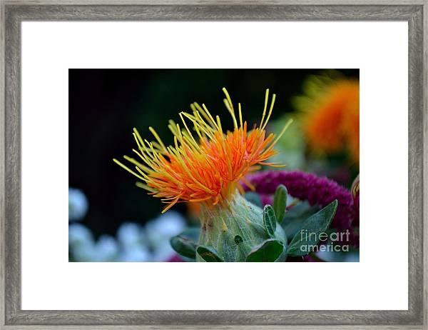 Framed Print featuring the photograph Orange Safflower by Scott Lyons