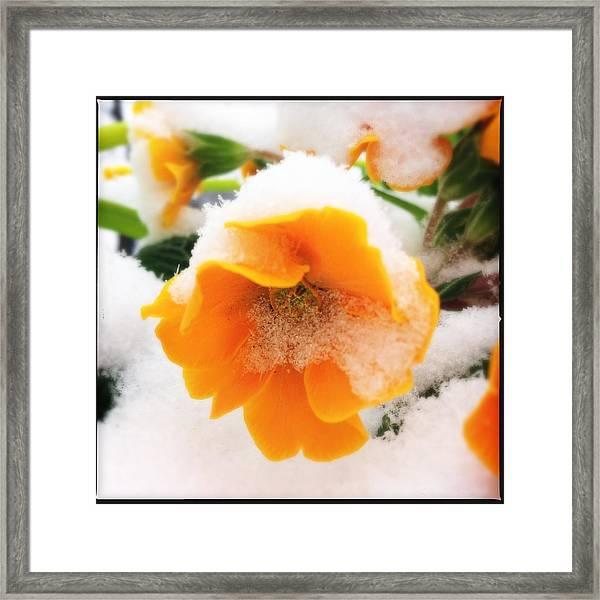 Orange Spring Flower With Snow Framed Print
