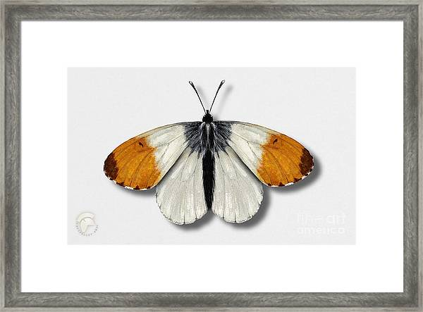 Orange Tip Butterfly - Anthocharis Cardamines Naturalistic Painting - Nettersheim Eifel Framed Print