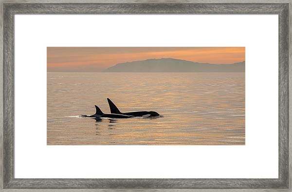 Orcas Off The California Coast Framed Print