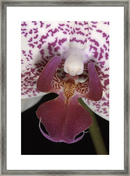 Orchid 474 Framed Print