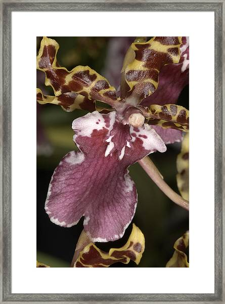 Orchid 482 Framed Print