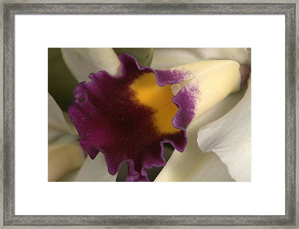 Orchid 502 Framed Print