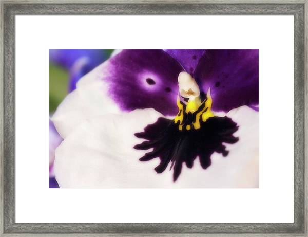 Orchid Labellum (miltoniopsis Sp.) Hybrid Framed Print by Maria Mosolova/science Photo Library