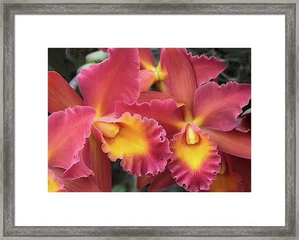 Orchids Ablaze Framed Print