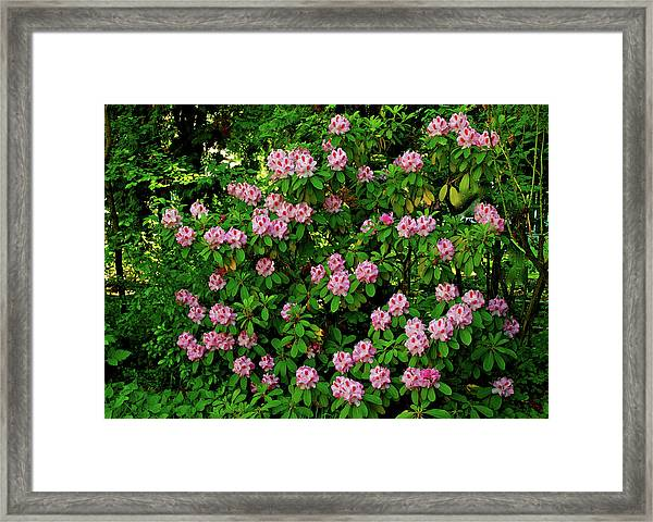 Oregon Azaleas Framed Print