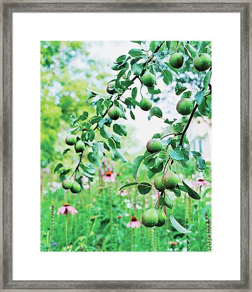 Organic Fruits Hanging On Branch Framed Print