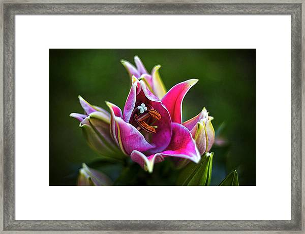 Oriental Day Lily Framed Print