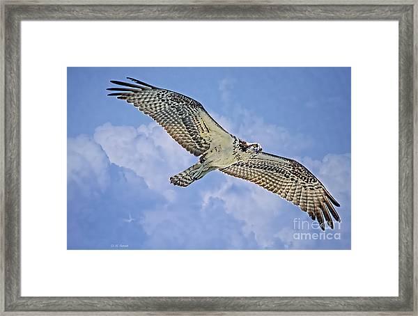 Osprey 91711 Framed Print