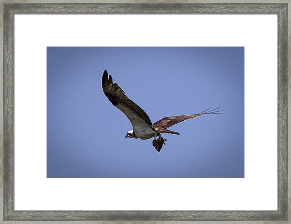 Osprey Carrying Fish  Framed Print