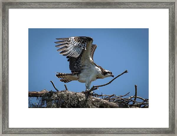 Osprey Departing Nest Framed Print