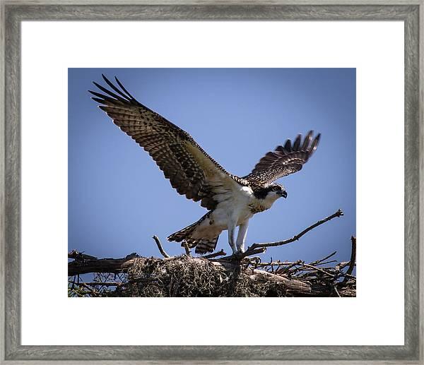 Osprey In Nest Ready To Fly Framed Print