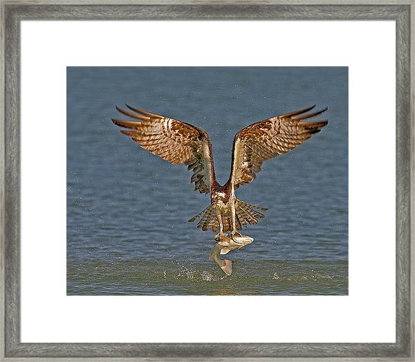 Framed Print featuring the photograph Osprey Morning Catch by Susan Candelario