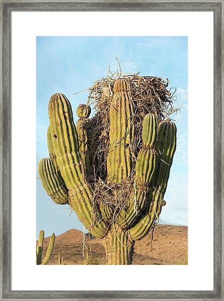 Osprey Nest In A Cactus Framed Print by Christopher Swann