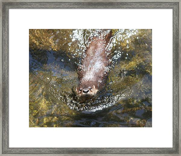 Otter In Florida Framed Print