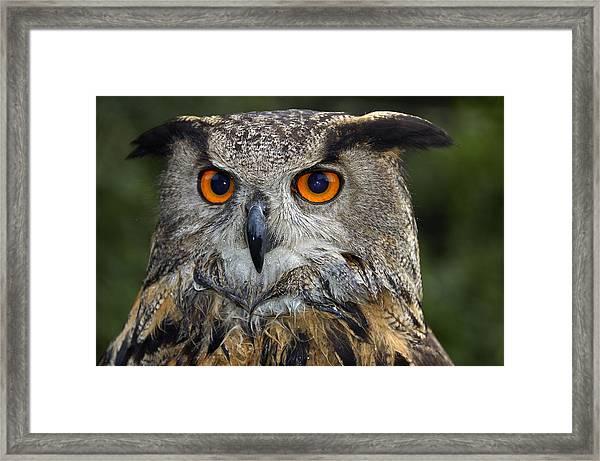 Owl Bubo Bubo Portrait Framed Print