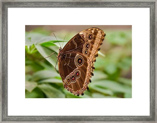 Owl Butterfly Framed Print by Mae Wertz