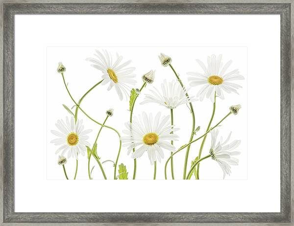 Ox Eye Daisies Framed Print