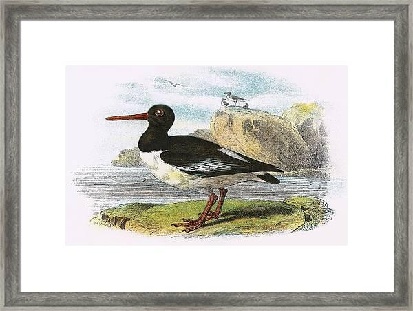 Oyster Catcher Framed Print
